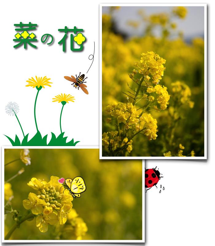菜の花畑.001